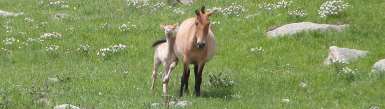 poulain et mère przewalski