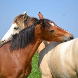 [Résumé] Gratter le garrot fait baisser le rythme cardiaque du cheval – Feh et de Mazières, 1993