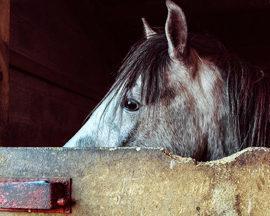 [Résumé] Les jeunes chevaux hébergés en groupe apprennent plus vite et sont moins dangereux pour l'homme – Sondergaard et Ladewig, 2004