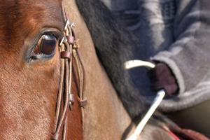 [Résumé] La nervosité du cavalier se transmet-elle au cheval? Keeling, 2009