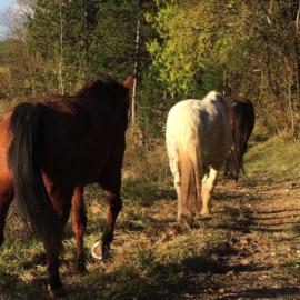 Un WE pour observer les déplacements des chevaux