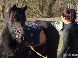 [Résumé] Les chevaux reconnaissent-ils quand les humains s'intéressent à eux ? – Proops et McComb, 2010