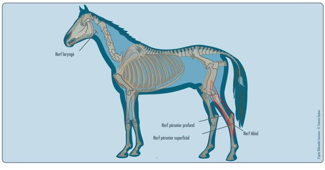 Profil d'un cheval montrant, en rouge, les nerfs atteints par le harper associé aux pâtures: ils relient les muscles de la cuisse au canon, en face antérieure et postérieure.