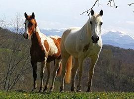 [Résumé]Un compagnon calme et habitué est un allié précieux dans l'éducation des jeunes chevaux !- Christensen et al.,  2008