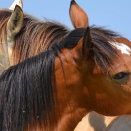 Les résumés d'articles de Sciences Equines