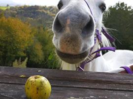 [Résumé] Peut-on distraire les chevaux de leurs peurs avec de la nourriture  ? – Gabor et al, 2019